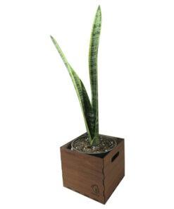 گیاه طبیعی سانسوریا شمشیری ناردونه کد AB - M01